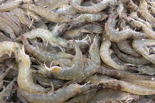 صید میگوی ببری در آب های خوزستان ممنوع می گردد