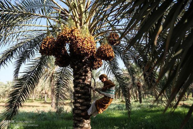 130 هزار تن خرما در سیستان و بلوچستان فراوری شد