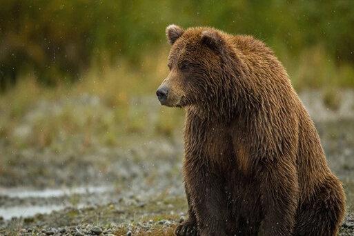 خرس وحشی باعث مرگ یک نفر در میانه شد